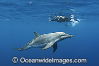 Rough-toothed Dolphin with snorkeler photo