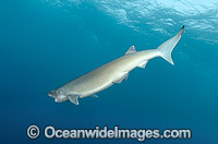 Bigeye Sixgill Shark Hexanchus nakamurai Photo - Andy Murch