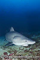Smalltooth Sand Tiger Shark photo