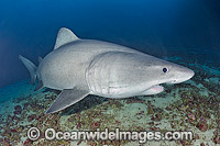 Smalltooth Sand Tiger Shark Odontaspis ferox photo