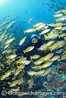 Scuba Diver with Snapper photo