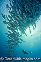 Schooling Trevally under boat Photo - Bob Halstead