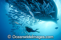 Diver and Schooling Trevally under boat Photo - Bob Halstead
