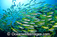 Schooling Bigeye Sea Perch photo
