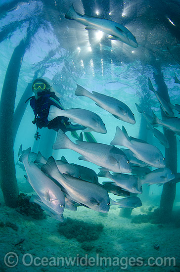 Scuba Diver observing a school of Big-eye Trevally (Caranx sexfasciatus) sheltering under a jetty. Also known as Horse-eye Jacks. Found throughout the Indo-Pacific. Photo taken at the Great Barrier Reef Queensland Australia.