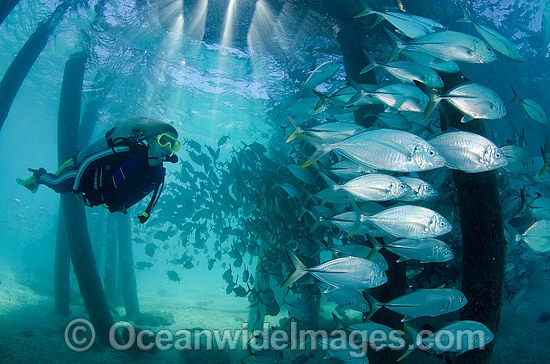 Scuba Diver observing a school of Big-eye Trevally (Caranx sexfasciatus) sheltering under a jetty. Also known as Horse-eye Jacks. Found throughout the Indo-Pacific. Photo taken at the Great Barrier Reef Queensland Australia. Photo - Bob Halstead