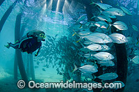 Trevally under Great Barrier Reef Jetty Photo - Bob Halstead