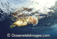 Green Sea Turtle feeding on Jellyfish photo