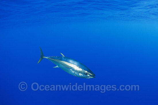 Southern Bluefin Tuna photo