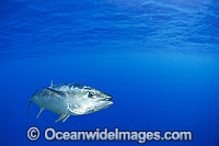 Southern Bluefin Tuna Photo - Gary Bell