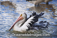 Australian Pelican washing Photo - Gary Bell
