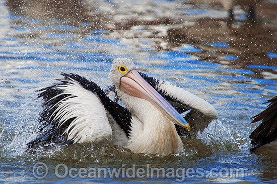 Australian Pelican (Pelecanus conspicillatus), washing itself on the surface of the ocean. This large water bird is found throughout Australia and New Guinea. Also in Fiji and parts of Indonesia and New Zealand. Central New South Wales coast, Australia. Photo - Gary Bell