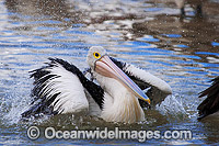 Australian Pelican washing on surface Photo - Gary Bell