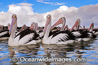 Australian Pelican resting on ocean Photo - Gary Bell