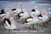 Australian Pelican resting in estuary Photo - Gary Bell