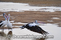 Australian Pelican in flight Photo - Gary Bell