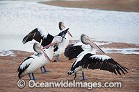 Australian Pelican on estuary Photo - Gary Bell