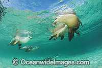 Australian Sea Lion swimming
