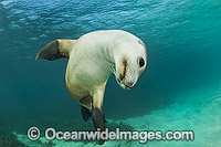Australian Sea Lion swimming Photo - Gary Bell