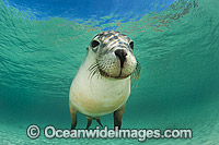 Australian Sea Lion photo