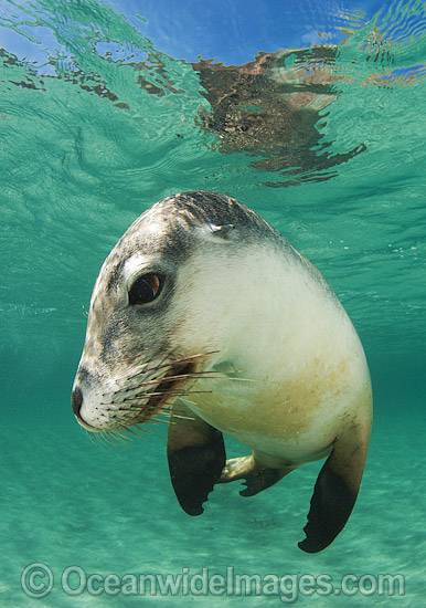 Australian Sea Lion (Neophoca cinerea). Found from Houtman Abrolhos, Western Australia, to Kangaroo Island, South Australia. Photo taken at Hopkins Island, South Australia. Classified Endangered on the IUCN Red List.