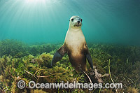 Australian Sea Lion young bull photo