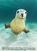 Australian Sea Lion Photo - Gary Bell