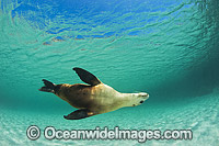 Australian Sea Lion bull Photo - Gary Bell