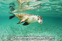 Australian Sea Lion swimming photo