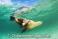 Australian Sea Lion bull photo