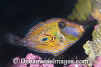 Horseshoe Leatherjacket Meuschenia hippocrepis photo