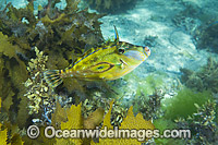 Horseshoe Leatherjacket South Australia photo