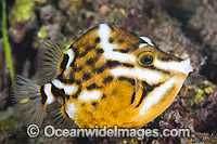White-barred Boxfish Anoplocapros lenticularis photo