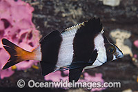 Magpie Perch Cheilodactylus nigripes photo