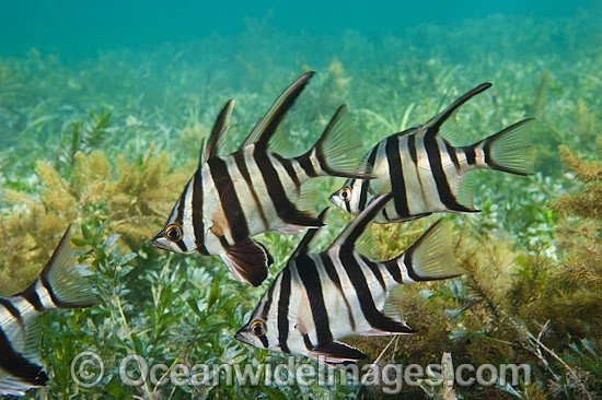 Old Wife (Enoplosus armatus), schooling over sea grass. Found from Kalbarri, Western Australia, to Noosa Head, Queensland. Photo taken at Edithburgh, York Peninsula, South Australia, Australia. Photo - Gary Bell