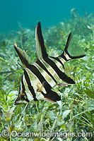 Old Wife Enoplosus armatus Photo - Gary Bell