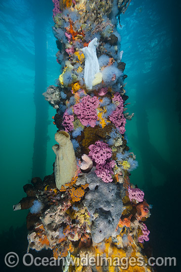 Exquisitely coloured sponges, tunicates and acsidians attached to the timber pylons or pillars of Edithburgh jetty, decorate temperate seascape. York Peninsula, South Australia, Australia. Photo - Gary Bell
