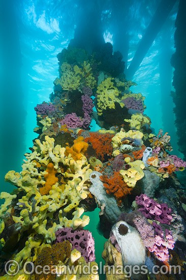 Exquisitely coloured sponges, tunicates and acsidians attached to the timber pylons or pillars of Edithburgh jetty, decorate temperate seascape. York Peninsula, South Australia, Australia.