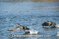 Little Pied Cormorants Photo - Gary Bell