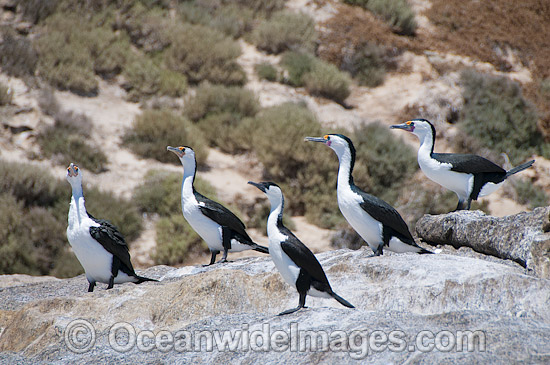 Little Pied Cormorants (Phalacrocorax melanoleucos) and a single Black-faced Cormorant (Phalacrocorax fuscescens). Found around aquatic habitats throughout Australia. Photo taken at Hopkins Island, off Eyre Peninsula, South Australia, Australia. Photo - Gary Bell