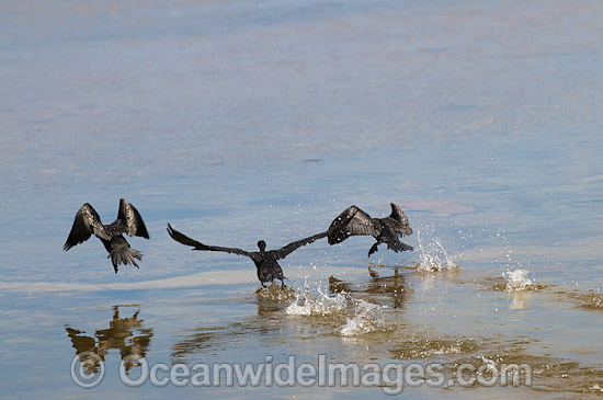 Little Black Cormorants (Phalacrocorax sulcirostris), taking off on the surface of an estuary. Found mostly around waterways of inland Australia, but also around coastal estuaries. Photo taken on Eyre Peninsula, South Australia, Australia. Photo - Gary Bell