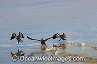 Little Black Cormorants Photo - Gary Bell