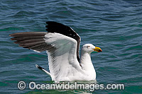 Pacific Gull Larus pacificus Photo - Gary Bell