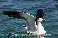 Pacific Gull Australia Photo - Gary Bell