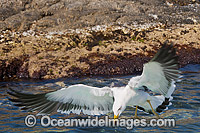 Pacific Gull in flight image