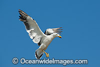 Pacific Gull in flight Photo - Gary Bell