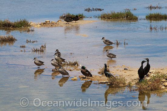 Pacific Black Duck (Anas superciliosa), Chestnut Teal (Anus castanea) and Little Black Cormorant (Phalacrocorax sulcirostris), resting on an estuary. Photo taken on Eyre Peninsula, South Australia, Australia. Photo - Gary Bell