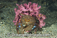 Sponge Crab Cryptodromia octodetata Photo - Gary Bell