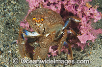 Sponge Crab with sponge cover Photo - Gary Bell