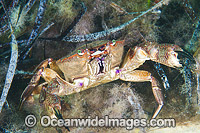 Red Swimmer Crab Nectocarcinus tuberculosus Photo - Gary Bell